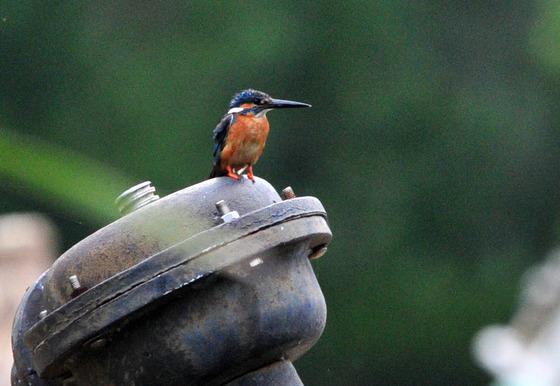 먹잇감 찾는 물총새