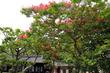 여름에 피어난 베롱나무꽃