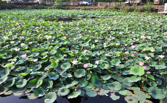 연꽃잔치 열린 도심연못