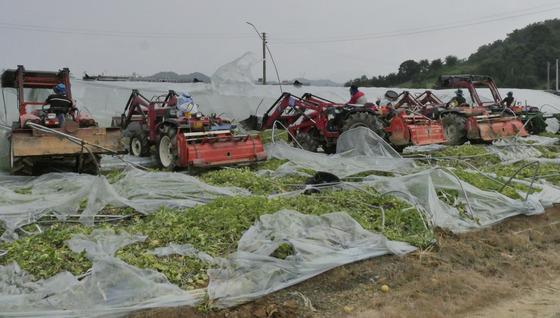 참외밭 갈아엎는 성주 농민들
