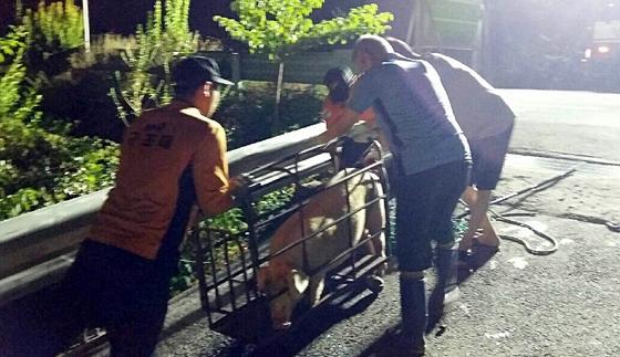 익산서 마트 출몰한 돼지 현장서 포획