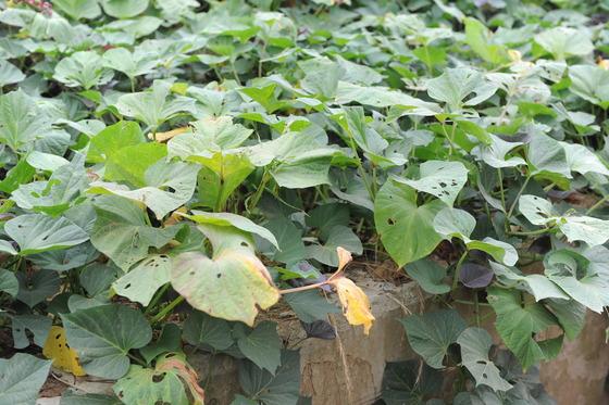 두위에 말라버린 고구마 잎