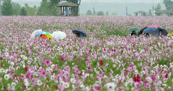 코스모스 밭에 핀 우산 꽃
