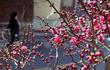 꽃샘추위 속 봄소식 전하는 홍매화