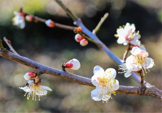 봄기운에 꽃망울 터트린 광양매화