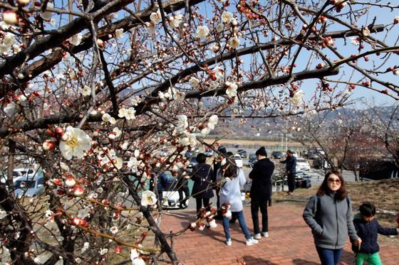 봄의 전령사 광양 매화 활짝