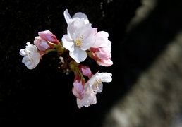 꽃망울 터트린 도쿄의 벚꽃