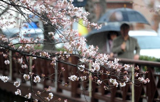 진해 벚꽃 봄비 머금고 활짝