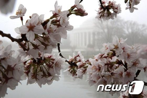 활짝 핀 벚꽃과 제퍼슨 기념관