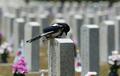 6.25전쟁 전사자 묘역에서 묵념하는 까치