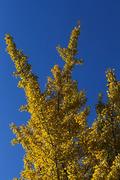 파란 하늘과 노란 단풍