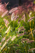 가을 색으로 물든 강아지풀