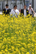 유채꽃으로 노랗게 변한 세종청사 도로