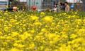 노란색 유채꽃이 만개한 세종시