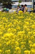 유채꽃이 반기는 오후