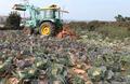 양배추 산지 폐기하는 농민