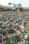산지서 폐기되는 양배추