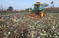 제주산 양배추, 수확 앞두고 자율폐기