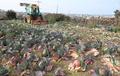 수확 앞두고 산지서 폐기되는 제주산 양배추