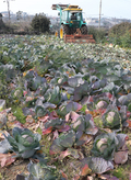 수확 앞두고 폐기되는 제주산 양배추