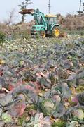 수확 앞두고 폐기되는 양배추