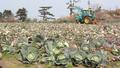 제주산 양배추 산지 폐기