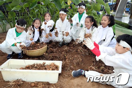 어린이 농부들의 토란 캐기 체험