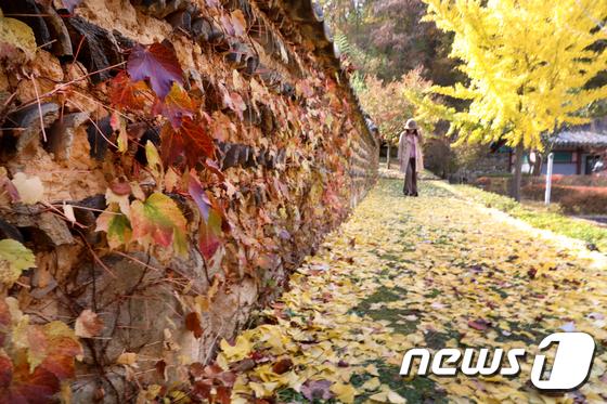 담쟁이 덩굴과 노란 은행잎