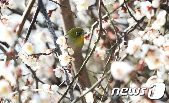 매화나무에 앉은 동박새