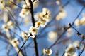 봄 소식 알리며 찾아온 매화