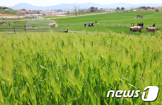 청보리로 물든 고창 학원농장