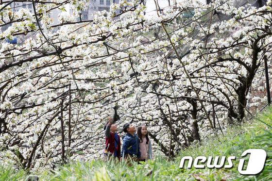 서울 도시농업 축제 열리는 청남공원 \'가득한 배꽃\'