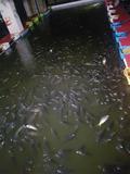 대전 목척교 상수도관 파열…실내 낚시카페 물고기 수천마리 폐사