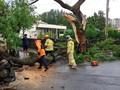 태풍 타파 위력에 부러진 나무