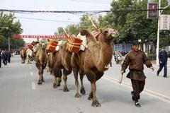 1만5천km 여행할 낙타들