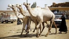 희생제 위해 시장으로 가는 낙타들