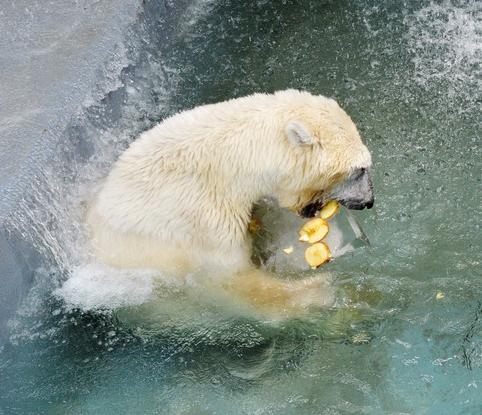 북극곰 '여름엔 얼음과자가 최고'