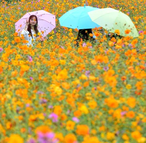 빗속의 코스모스 꽃놀이