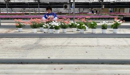 카네이션 없는 5월의 화훼농가