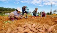 충남 태안 호박고구마 '웰빙식품'으로 인기…수확 한창