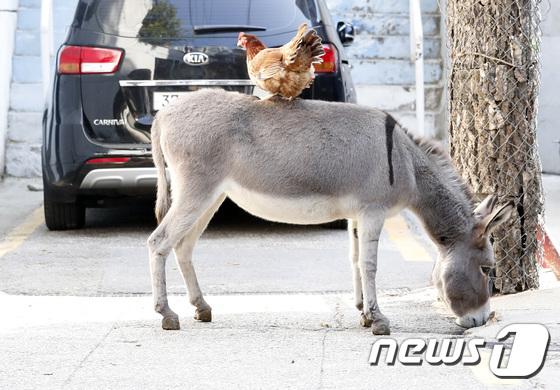 서울 강남 한복판에 당나귀 3 마리 등장 … 포획 후 주인에게 인계