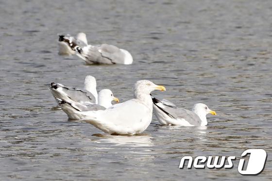 형산강에서 발견된 멸종위기 흰갈매기
