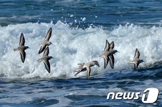 절기상 소설...겨울 바다 날아가는 세가락도요떼