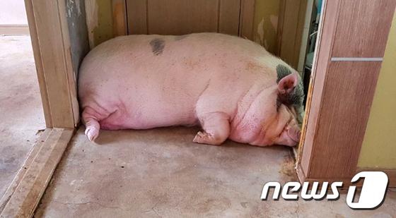 300kg 돼지가 애완용?…잇단 민원에 보호시설行