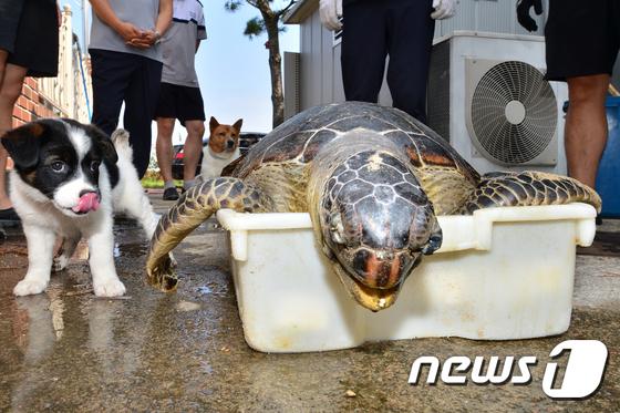 멸종위기종 푸른바다 거북 포항서 죽은 채 발견