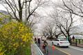 벚꽃 터널 달리는 자전거 여행객들