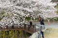벚꽃 찍는 시민들