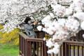 '만개한 벚꽃' 사진에 담는 시민