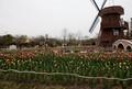 순천만정원 네덜란드 풍차 앞에 핀 튤립