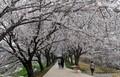 코로나19에도 벚꽃 구경 나온 시민들